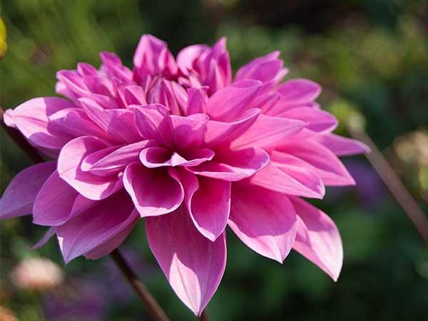 pinkdahlia