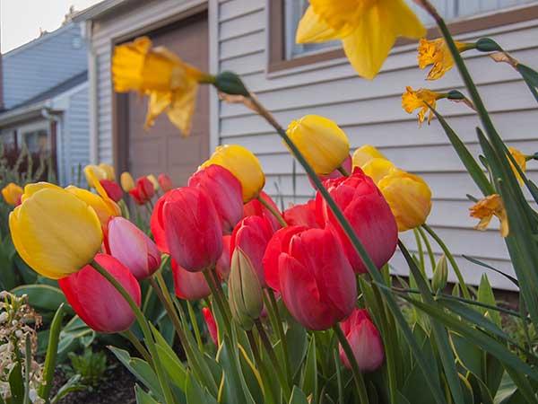 15-tulips