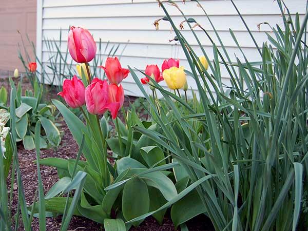 16-tulips